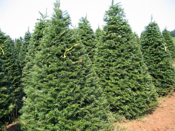 Grand Firs and Nordman Firs
